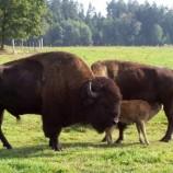 9.04 Cea mai mare fermă de bizoni din Europa se deschide la Cluj