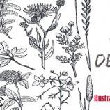 1.04 Curs desen: Ilustratie botanica